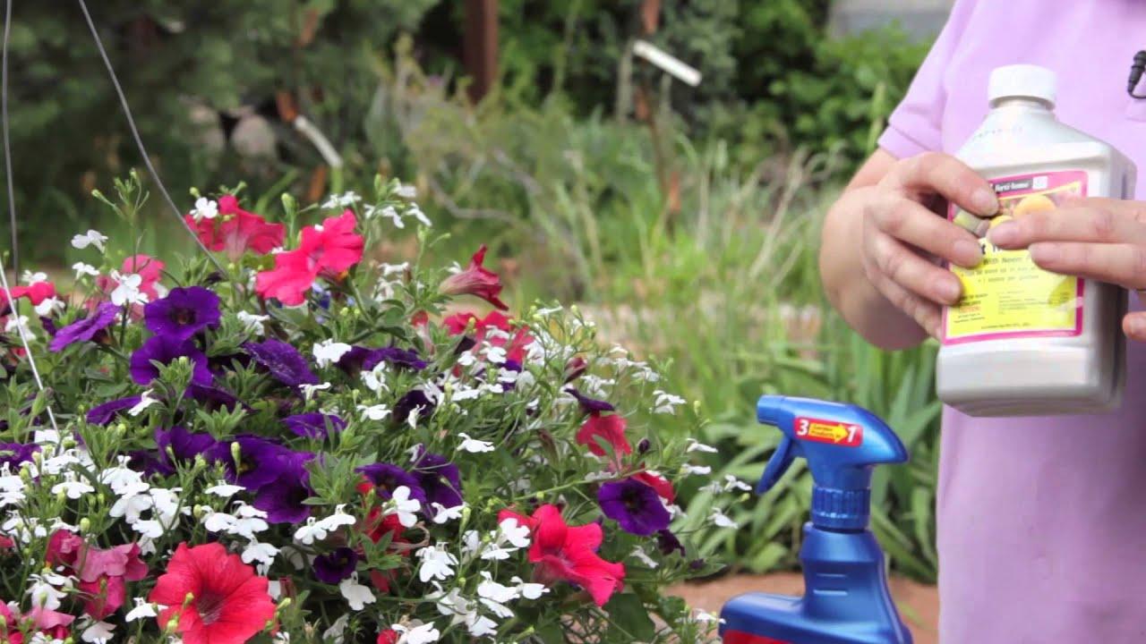 No Petunias Were Harmed In >> How To Get Rid Of Aphids On Petunias Grow Guru Youtube