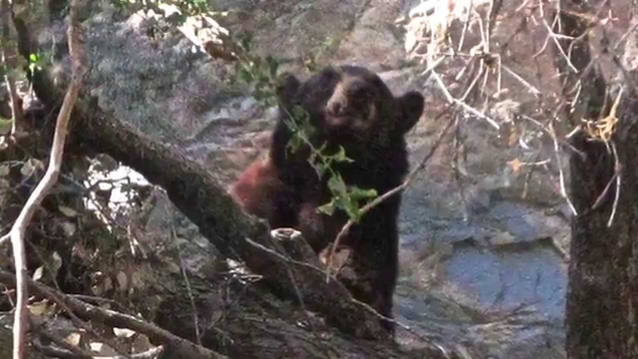 Bear Valley Ca >> the bear and the ranger at Forest Falls CA - YouTube