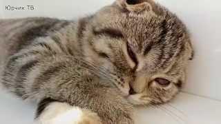 Скоттиш-фолд (МАСЬКА) спит