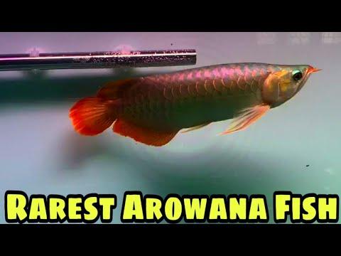 Very Rare And Expensive Arowana Fish For Sale | Red Chilli Arowana Fish