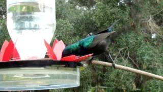 Make A Hummingbirds Feeder - Male Sunbird (nectarinia Osea) .mpg
