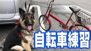 grandchild and German Shepherd dog ジャーマンシェパード犬マック君腰...