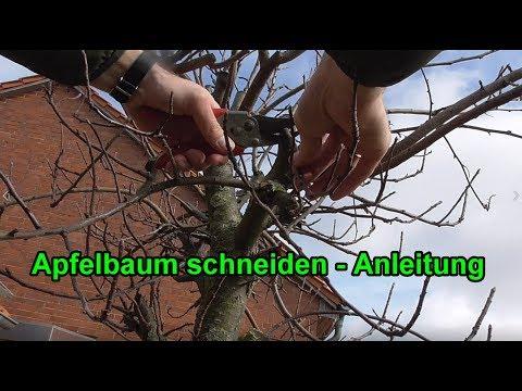 Apfelbaum Richtig Schneiden Anleitung Apfelbaume Zuruckschneiden