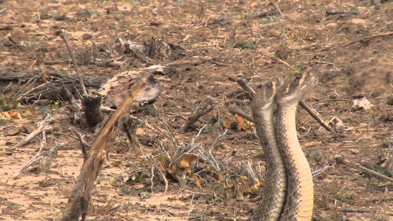 Texas Diamondback Rattlesnakes Battle For Dominance
