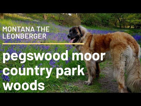 My dogs Northumberland walks Pegswood moor country park woods #dog #animal #leonberger #walking