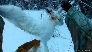 Охота на зайца беляка с русской гончей.двойная удача