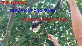 Triệu Quang đi bắt mật ong rừng xém bị ong đánh và cái kết