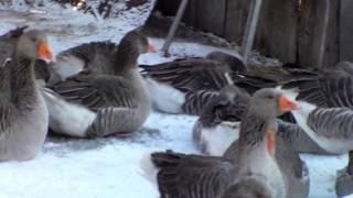 Особенности разведения гусей в зимнее время.Как гуси переносят холод.