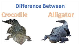 Difference between Crocodile and Alligator | Alligator Vs Crocodile