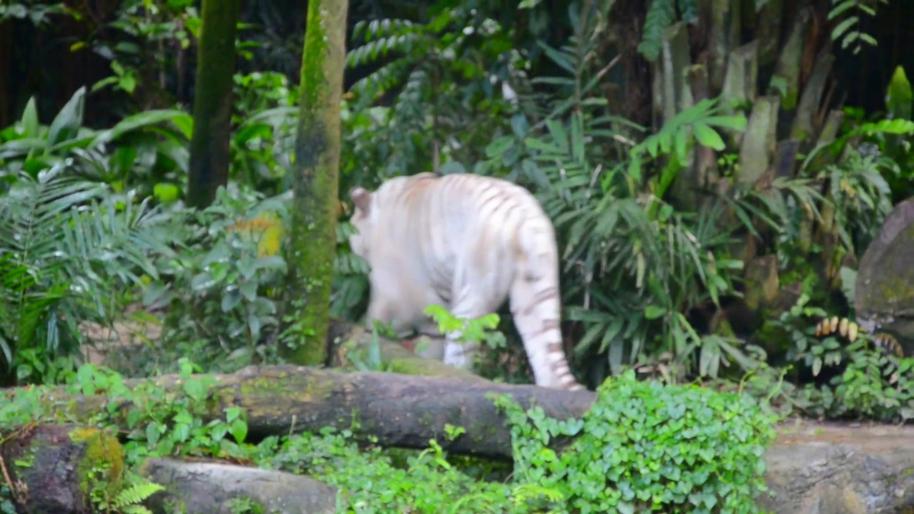 rare white tigers, roaring in woods | singapore safari - youtube