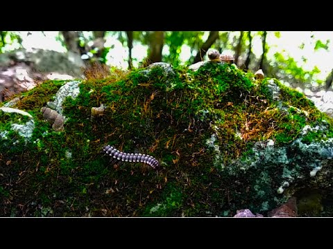 RELAXING NATURE SOUNDS 🐌🌱 Forest Moss Environment For Yoga, Meditation ... Also For Your Pets 🐦🦔