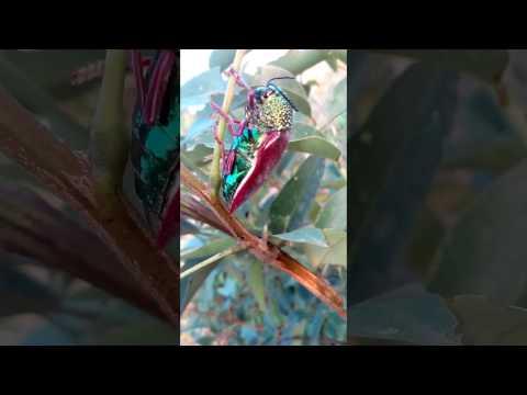 Jirangi, Jewel beetle, jeerjimbe insect (Buprestidae)(Sternocera aequisignata)