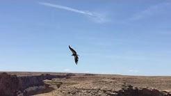 California Condors Soaring at Badger Canyon - Marble Canyon, Arizona
