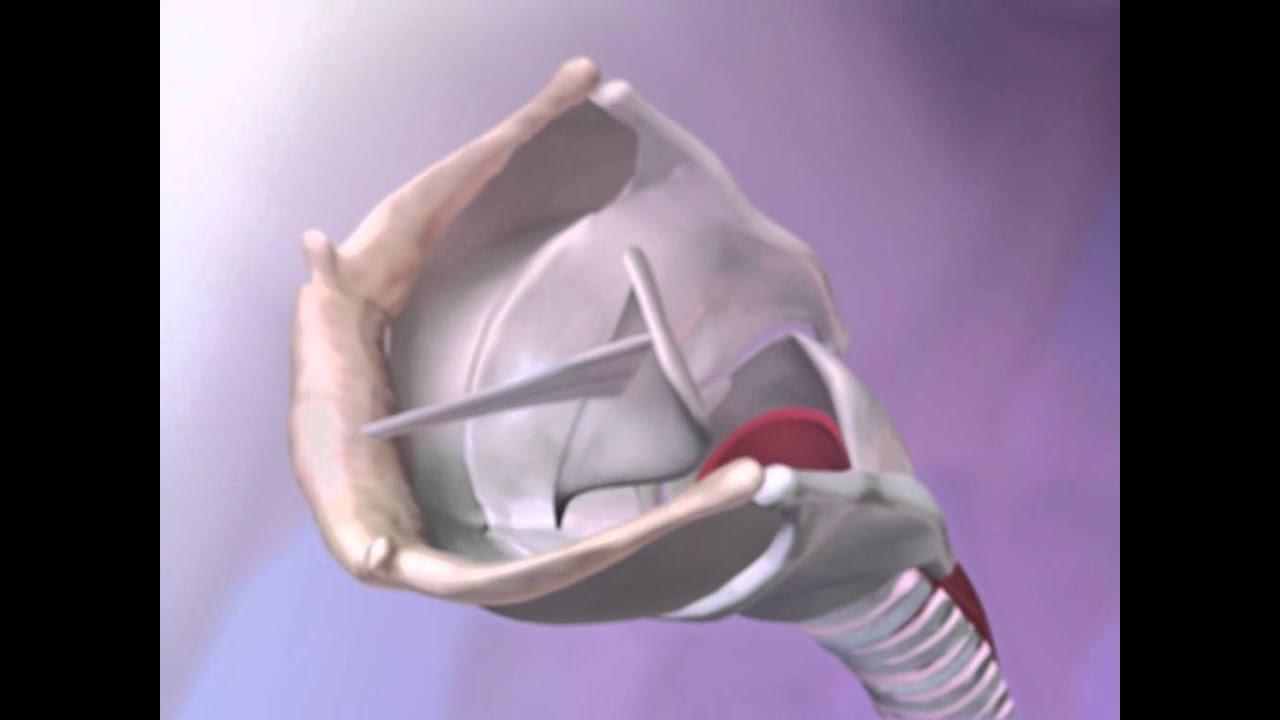 Function Of The Epiglottis Youtube