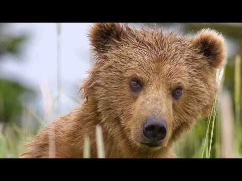 Bears at Silver Salmon Creek by Sally Hinton