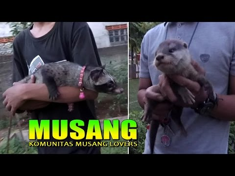 Nyesel Kalo Gak Nonton!! LUCUNYA MUSANG & BERANG BERANG - Komunitas Musang Lovers