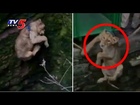 Forest Officials Save Lion's Cub From 80ft Deep Well in Gujarat | TV5 News