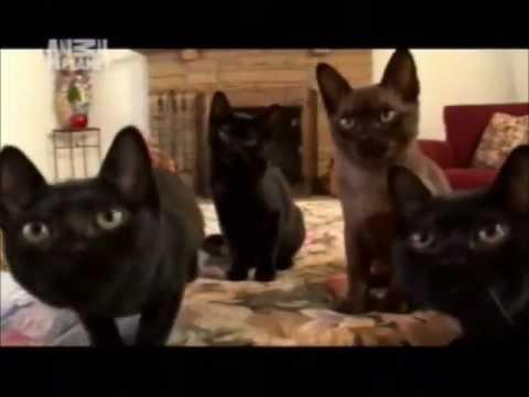 Cats 101   Wszystko O Kotach   Kot Bombajski   Bombay