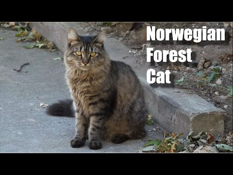 Norwegian Forest Cat Video and Sound Effect (4k)