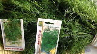 видео Укроп - выращивание укропа в теплице или открытом грунте