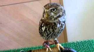 茨城にある「こもれび森のイバライド」でフクロウに逢いました.
