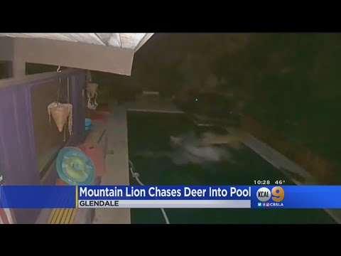 Ken Payne - Mountain Lion Chases Deer Into Homeowners Pool