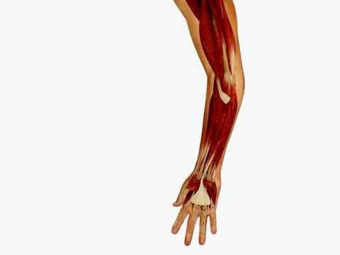 Elbow Motion And Forearm Supination And Pronation Youtube