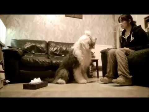 Achoo! Dog trick with an Old English Sheepdog