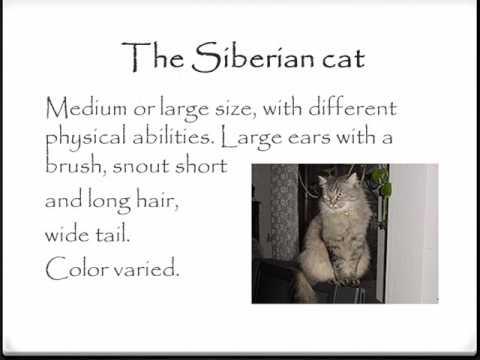 Презентація на тему: Russian native breeds of cats