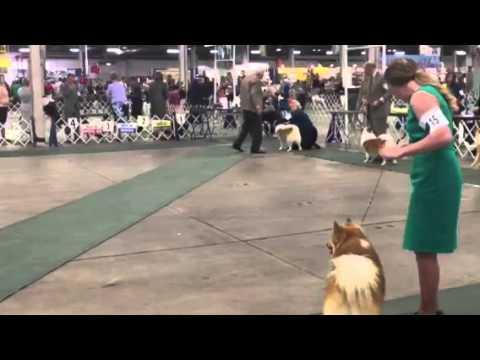 Icelandic sheepdog judging Friday 2015 Louisville KY