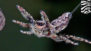 新研究指蜘蛛空飄不靠風 靠靜電斥力