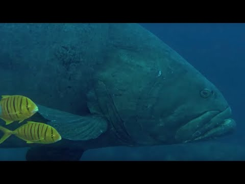 Deadly Predators Of The Reef: The Queensland Grouper And The Sea Snake | BBC Earth | BBC Earth