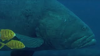 Deadly Predators of the Reef: the Queensland Grouper and the Sea Snake | BBC Earth thumbnail