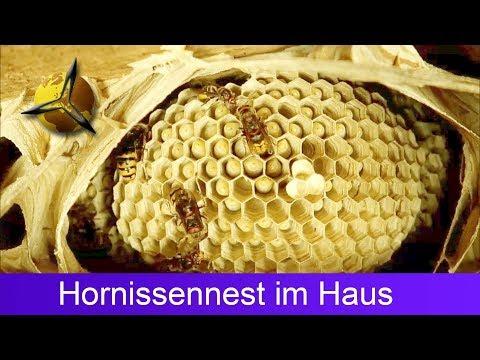 Hornissen: Hornissennest im Haus / Dachboden