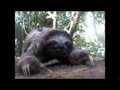 Creepy Sloth Attack! - YouTube