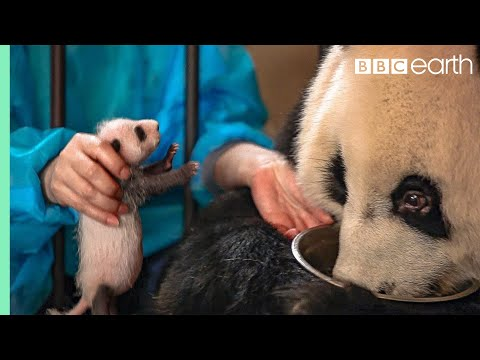Panda Doesn't Realise She's Had Twins! | BBC Earth
