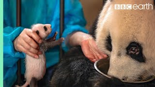 Panda Doesn't Realise She's Had Twins! | BBC Earth thumbnail