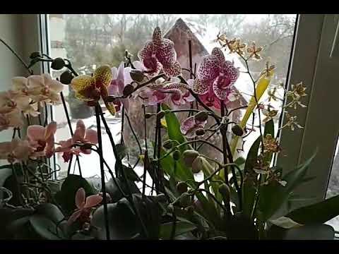 пышное цветение орхидей без хлопот