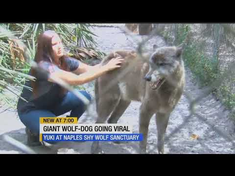 Yuki the wolf dog that went viral lives in a sanctuary in Naples
