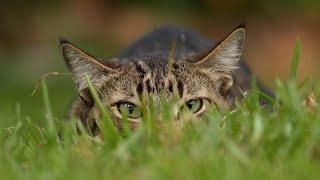 Лесной кот — мастер маскировки и эксперт в охоте! На что способен дикий Барсик.