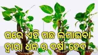 Money tree ghara lagantu aau d…