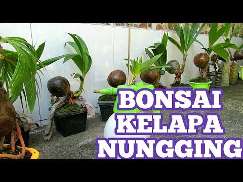 Bonsai Kelapa Youtube