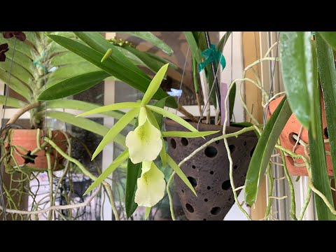 New Orchid Blooms, LIVE CHAT