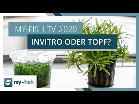 Der Unterschied zwischen Topfpflanzen und Invitro Bechern | my-fish TV