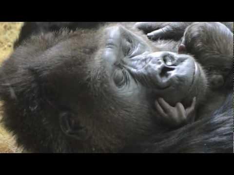 Baby Gorilla Bonding at Lincoln Park Zoo