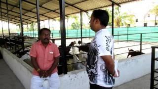 Introduction of Rajshekar Taware Pure Sirohi & Sojat goat Farm Part 1