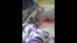 Сфинкс Дусинея родила одного котёнка по имени ВанЭ