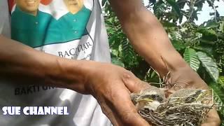 panen anak burung pentet liar mantap