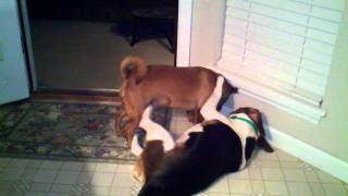 Remi Dominates Ellie......mean Min Pin-yorkie Mix Against A Sweet Beagle