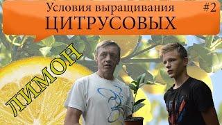 Как вырастить лимон в домашних условиях.((XIT) Выращиваем лимон в домашних условиях Уход, формирование, защита https://youtu.be/oSnxBweNgMQ Вырастить лимонное..., 2016-07-17T13:09:35.000Z)